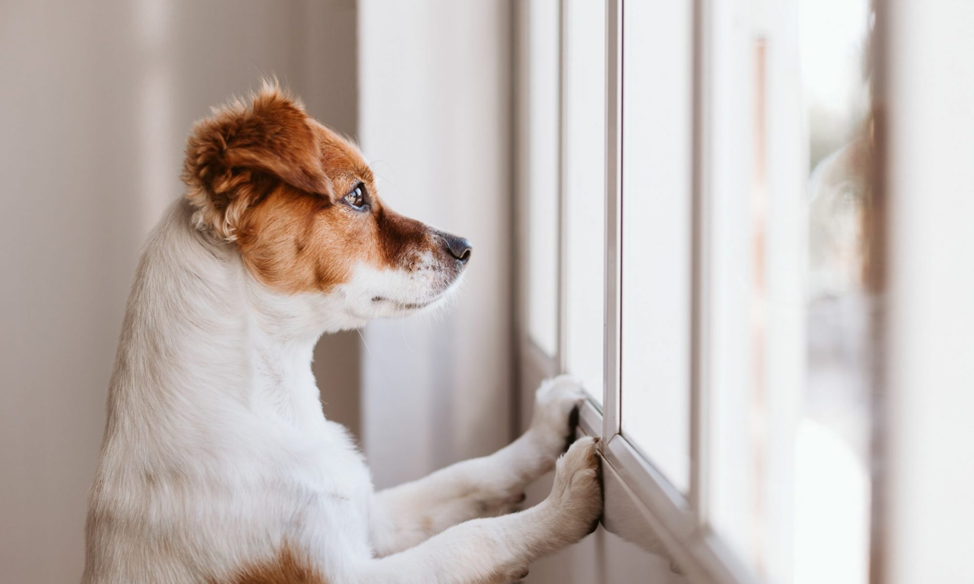 A white and brown dog propped up with his two front paws looking outside a window. Business Impact article on Why businesses must develop greater integrity.