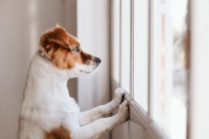 A white and brown dog propped up with his two front paws looking outside a window.