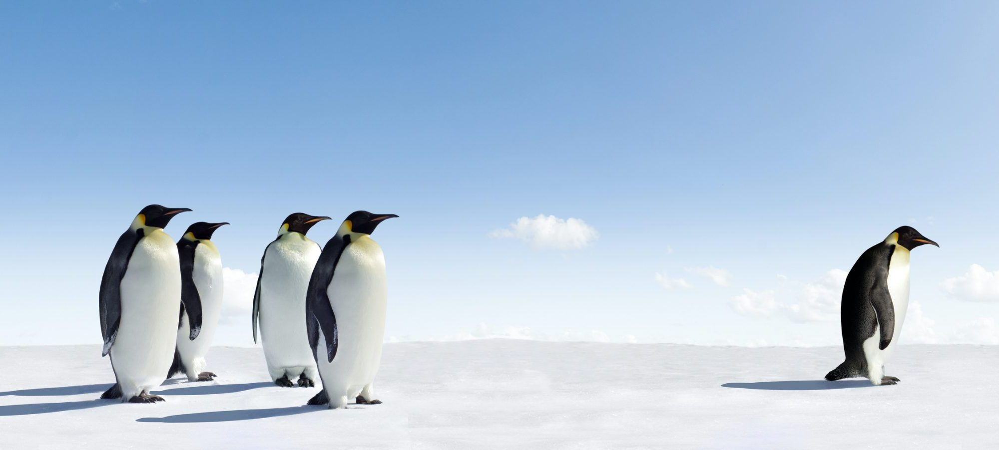 Here is a single penguin standing away from a group of penguins.
